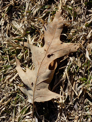 Fallen Leaf On The Grass. (dccradio) Tags: lumberton nc northcarolina robesoncounty outdoor outdoors outside february winter afternoon saturday saturdayafternoon goodafternoon nikon coolpix l340 bridgecamera fallen leaf leaves ground grass