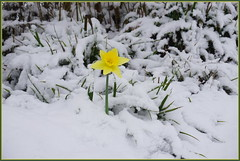 Narzisse ... wenn Blumen sprechen könnten ... (Kindergartenkinder 2018) Tags: narzissen osterglocken blumen natur winter schnee kindergartenkinder flowersadminfave