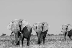 Marching giants (HansenBenHansen) Tags: africa namibia nationalpark wildlife game etosha afrika blackwhite elephant elefant male sony sonyalpha7ii sonya7ii a7ii a7 alpha7ii alpha7 sony⍺7markii ⍺7ii ⍺7 sony⍺7ii sony⍺7 sonyalpha7 ilce7 ilce7ii emount fullframe