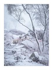 A Winters Tale (Dave Fieldhouse Photography) Tags: derbyshire derbyshirelife peakdistrict peaks sheep animals livestock snow winter fog mist trees birch silverbirch rocks nationalpark portrait fuji fujixt2 wwwdavefieldhousephotographycom