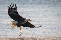 FishDuJour (jmishefske) Tags: dam mature bald d500 nikon necedah fish bird wisconsin flying eagle february catching 2019 bif petenwell