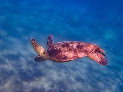 Swimming with Sea Turtle (Xiang&Jie) Tags: greenseaturtle seaturtle turtle swim hawaii maui snorkel wildlife sea ocean