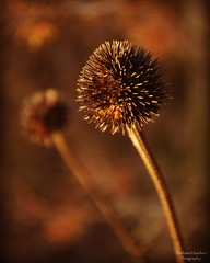 In Nature you Never stand Alone (barbara_donders) Tags: natuur nature spring lente thistle distel brown bruin forest bos macro bokeh mooi beautiful magisch magical prachtig dof two twee
