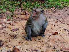 180726-139 Singe Rhésus (2018 Trip) (clamato39) Tags: singe monkey rhésus animal cambodge angkor asia asie voyage trip nature wild sauvage olympus