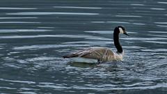 Canada goose (Branta canadensis) (neggatiff) Tags: canadagoose brantacanadensis pittlake britishcolumbia canada img7d206898c2