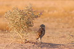 Getting some Shade (Ed Cheremet) Tags: arizona birds birdsofprey burrowingowl desertargonaughtgmailcom edcheremet genre goodyear nature owl phoenix wildlife httpedcheremetartistwebsitescom