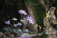 20190321-DS7_1142.jpg (d3_plus) Tags: bokeh aiafzoomnikkor80200mmf28sed d700 thesedays wildflower 日常 walking 城山 ボケ 相模原 望遠 カタクリ 自然 景色 dogtoothviolet sagamihara trekking 神奈川県 sky telephoto 山野草 風景 japan erythroniumjaponicum ニコン トレッキング nature dailyphoto ハイキング nikon nikond700 kanagawa flower nikkor shiroyama 8020028 dogtoothvioletvillage bloom 植物 80200mmf28d 散歩 80200mmf28af plant 花 scenery 80200mmf28 daily 城山かたくりの里 hiking 80200 日本 tele 80200mm かたくりの里 空