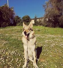 My dog ❤️ (sami.dt98) Tags: spring beautiful flowers nature czechoslovakian dog sunnyday
