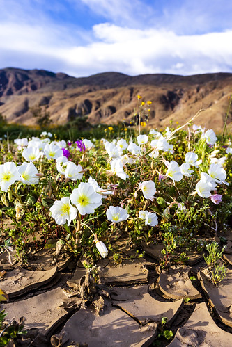 California evening primrose in cracked mud in Henderson Canyon