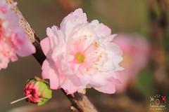 郁李 (~金玉~ Y.C.CHEN) Tags: canon color colorful beautiful bokeh nature plant pink red marco light green flower outside outdoor