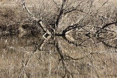 Reflections (Diane Marshman) Tags: reflections trees brush spring bare water pennsylvania nature