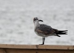 Laughing Gull (First Winter) (pamfromcalgary) Tags: texas gooseislandsp bigtreelamarbeach laughinggull leucophaeusatricilla