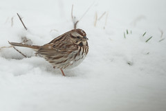 Song Sparrow-40910.jpg (Mully410 * Images) Tags: birdwatching birding blizzard winter backyard bird birds songsparrow snow sparrow spring birder snowing
