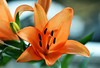 Gracefulness (Pensive glance) Tags: lily lilium lys fleurdelys flower fleur