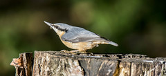 nut hatch (alderson.yvonne) Tags: bird tree woodland park nut nuthatch teesside county durham yvonne alderson yvonnealderson