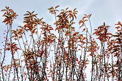 Red Berries (pmorris73) Tags: arboretum pennstateuniversity statecollege pennsylvania century 2ca1519 3ca1519 4ca1519 5ca1619 6ca1919 7ca2019 8ca2519 9cb0719