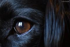Arthur's Eye (Jen Buckle) Tags: animal arthur animals eyes eye spaniel sprocker sprockers sprockerspaniel teamsprocker wwwflickrcomgroupsteamsprockera httpswwwflickrcomgroupsteamsprocker jenbuckle nikon nikond7500 weebeastie wb theweebeastie lairdhaggisweebeastie fettercairn scotland scottish dog dogsofflickr dogs dogsofuk pet portrait portraitphoto photo