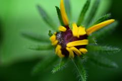 Hidden Predator (rdodson76) Tags: spider arachnid predator animal wildlife wild nature hidden hiding stealth flower botanical floral flora fauna natural beauty cute small green yellow