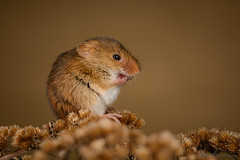 Harvest mouse close up 19.01.19 (Lee Myers - aka mido2k2) Tags: green harvest mice mouse mammal small native wildlife uk countryside nature natural studio light portrait setup nikon d7100 flash strobe sigma macro 105mm cute smile happy fluffy rodent explore nikkor animal bird pet food springwatch bbcspringwatch