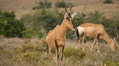 DSC08770 (Paddy-NX) Tags: 2019 20190109 addoelephantnationalpark africa hartebeest sony sonya77ii sonyalpha sonyalphaa77ii sonysal70300g southafrica wildlife