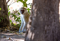 Up to mischief _5581 (hkoons) Tags: southernafrica africa botswana monkey ancestor animal beast biped family group humanlike mammal monkeys pack primate