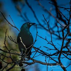 Blackbird (Jeffrey Balfus (thx for 3.3 Million views)) Tags: sonyalpha sonya9mirrorless sonyilce9 fullframe emountsony100400mmg sal100400f35g blackbird crow