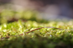 (Kamil Gawlak) Tags: flora bokeh grass moss green closeup kp pentax ricoh nature soe