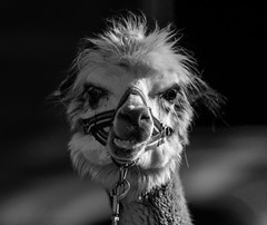 Irrer Blick (KaAuenwasser) Tags: alpaka tier blick zoo zookarlsruhe streichelzoo irrerblick säugetier porträt fell bw schwarzweis sony ilce7rm3