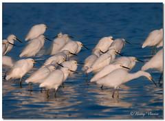 Snowy Egrets Fishing (Betty Vlasiu) Tags: snowy egrets fishing egret egretta thula bird wildlife nature chincoteague island