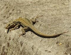 Lézard des murailles (chriscrst photo66) Tags: reptile animal lezard jardin parc soleil photographie nature wildlife photography gironde nikon