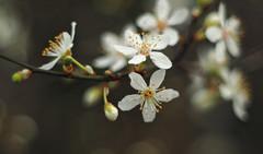 blossom (Johnson Cameraface) Tags: 2019 february winter olympus omde1 em1 micro43 meyeroptikgorlitzoreston 50mm m42 f18 manualfocus johnsoncameraface blossom tree flower