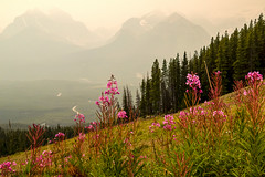 4287 Fireweeds in the Smoke 2 (paule48) Tags: ab banff canada lakelouiseskiresort smoky alpine fireweed landscape meadow mountain wildflower banffnationalpark