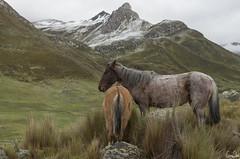 Un pelage assorti (Rosca75) Tags: horse animal color colorcombination colormatching whitefur colouring peeling landscape nature mountain naturephotography naturelandscape caballo