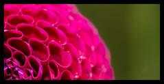 Dahlia flower macro RHS Wisley (spencerrushton) Tags: spencerrushton spencer rushton canon canonlens colour canonl canon5dmkiii 5dmkiii 5dmk3 100mm canon100mmf28lmacroisusm usm100mmgardengardensmanfrottomanfrotto efcanon100mmf28lmacroisusm garden gardens rhs rhswisley wisley macro manfrottotripod manfrotto uk uknature macroflower macroplant macroflowers flower fillinflash fleur flor blume dahlia red redflower