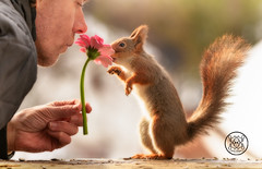 Red squirrel and a man smelling a daisy (Geert Weggen) Tags: squirrel red animal backgrounds bright cheerful close color concepts conservation culinary cute damage day earth environment environmental equipment love valentine flower winter photo bouquet model person human man daisy smell bispgården jämtland sweden geert weggen hardeko ragunda