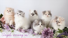 Proof..Angels Are Among Us (dollfacepersiankittens.com) Tags: persian kittens for sale doll face cattery teacup cats cat kitten ilovecats love cutekittenpictures cutecatpictures