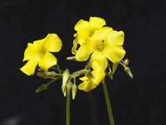 Wood Sorrel on Dark Background-2 (zeevveez) Tags: זאבברקן zeevveez zeevbarkan canon yellow flower