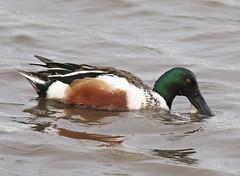 F_032019e (Eric C. Reuter) Tags: birds birding nature wildlife nj forsythe refuge nwr oceanville brigantine march 2019 032019