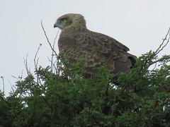 Black-chested Snake Eagle / Black-breasted Snake Eagle / Swartborsslangarend (Pixi2011) Tags: birds birdsofprey rietvleinaturereserve southafrica africa nature