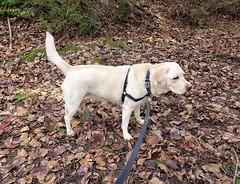 Gracie standing among the leaves (walneylad) Tags: gracie dog canine pet puppy cute lab labrador labradorretriever march spring westlynn