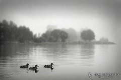 Foggy Morning at Bellevue Park (tfavretto) Tags: algoma bay blur border bw dof ducks focus fog foggy lake monochrome morning reflection ripple river saultstemarie shallow three topsailisland water stmarysriver bellevuepark