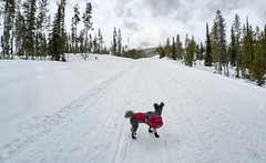 Going No Place Special (Musgrove and the Pumi) Tags: forestserviceroad214 sawtoothnationalforest idaho id sawtoothnationalrecreationarea woodythedog pumi hungarianpumidog hungarianpumibreed ruffweardogcoat ruffweardogbackpack backpackingwithsled snowshoeing dogboots snow sawtoothmountains