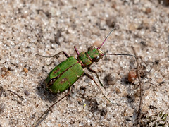 Green Tiger Beetle (chaz jackson) Tags: cicindelacampestris greentigerbeetle beetle carabidae green tiger insect