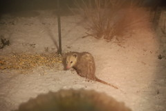 292/365/3944 (March 30, 2019) - Possum & the early Spring snow  - Opossum at the Bird Feeder (Saline, Michigan) - March 30th,  2019 (cseeman) Tags: possum opossum animal saline michigan marsupials possummarch2019 visitor feeder backyard possumatthefeeder possumfeeder spring snow 2019project365coreys yearelevenproject365coreys project365 p365cs032019 356project2019