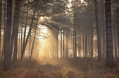 Enchanting Light (Captain Nikon) Tags: mist fog sunrise sunlight woodland forest enchanting mystical beautiful mothernature landscapephotography sunrays
