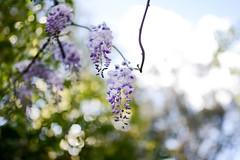 Wisteria (LauraJSwindle) Tags: wisteria legumefamily fabaceae california norherncalifornia floral fleur petal petals flower nikond7100 westcoast botanical nature plants foliage sigmaartlens 35mm sigmaart35mmf14 flora northerncalifornia ca