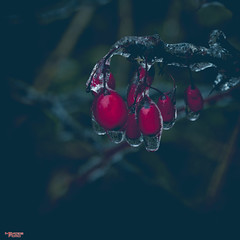 Fire and Ice (MBates Foto) Tags: availablelight bokeh botanicals closeup color daylight encourage enthuse existinglight flora ice inspire inspiration inspirational nikkorlens nikon nikonais nikond810 nikonfx outdoors plants red spokane washington unitedstates 99203