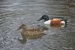 Northern shoveler (JSB PHOTOGRAPHS) Tags: jsb7481 northern shoveler shovehead duck eugeneoregon water pond altonbakerpark nikon 200500mm d7100 nikkor afs f56e ed vr nikkorafs200500mmf56eedvr