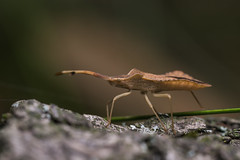 Syromastus rhombeus (Linnaeus, 1767) (Benjamin Fabian) Tags: syromastus rhombeus coreidae heteroptera hemiptera arthropod hexapod insect true bug close up macro profile