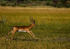 Impala (selvagedavid38) Tags: impala deer antelope animal africa safari okavango okavangodelta wildlife mammal run running gallop botswana